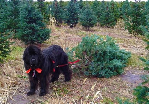 top 10 places to get a christmas tree in lake county visit lake county blog - Christmas Tree Farm Near Me